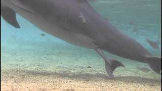 getlinkyoutube.com-Incredible Dolphin Birth at Dolphin Quest Hawaii