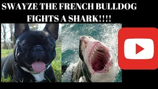 getlinkyoutube.com-Swayze The French Bulldog VS. The Shark