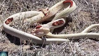 getlinkyoutube.com-Watch these Snakes Fight to Death - Snake vs Snake!