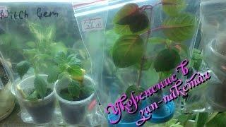 getlinkyoutube.com-Укоренение черенков и листов комнатных растений в зип-пакетах