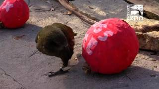 getlinkyoutube.com-Animals Get Valentine Treats - Cincinnati Zoo
