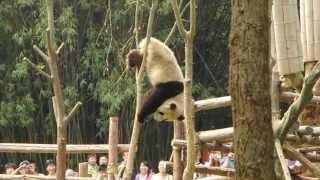getlinkyoutube.com-Giant Panda climbing a tree and get's stuck