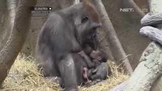 getlinkyoutube.com-NET12-Kelahiran Bayi Gorila Pertama Kali Sejak 2006 di Kebun Binatang Bronx