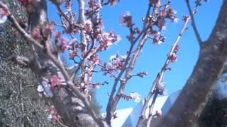 getlinkyoutube.com-شجرة مشمش بساحة المؤسسة.AVI