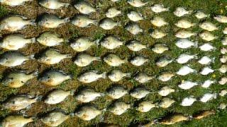 getlinkyoutube.com-Bait Fishing #80 - Panfish Slam of 86 Bluegill, Crappie, Perch, Bullhead, Sunfish, and Rock Bass
