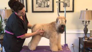 Grooming the Soft Coated Wheaten Terrier in a Show Trim Part 1