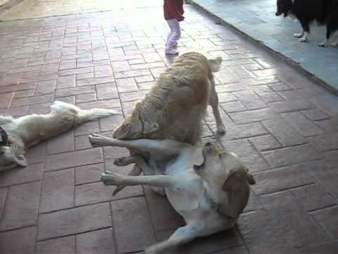 Agones skyllon dogs fight