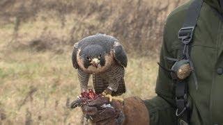 Professionals Reveal Secrets of Falconry