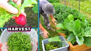 getlinkyoutube.com-Container Garden Harvest & Update #2 vegetable gardening plant raw food