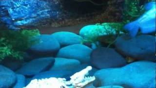 getlinkyoutube.com-My coffee table fish tank With Musk Turtles and African Clawed Frogs