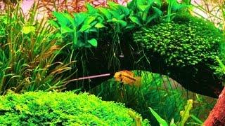 getlinkyoutube.com-Popular Fish For The Planted Aquarium - Algae-Eaters Shoaling Fish And More