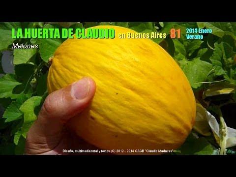 Cultivo de melón en bolsas y macetas 2014 - 1/4