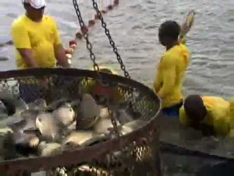 Globo Rural - Produção de peixes no MT cresce e se profissionaliza