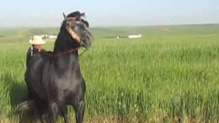 getlinkyoutube.com-cheval  tborida a vendre
