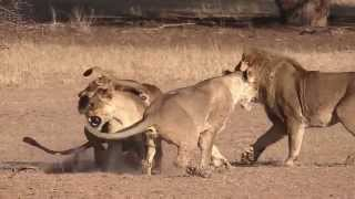 Lions at the Waterhole, Kgalagadi South Africa
