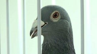 getlinkyoutube.com-Belgian racing pigeons lure rich Chinese aficionados