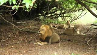 getlinkyoutube.com-Mapogo roars the entire bush-veld shivers with fear,Long live Mapogos.