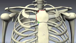 getlinkyoutube.com-Sternum - 3D Anatomy Tutorial