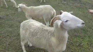 Овцы. Как мы содержим овец.
