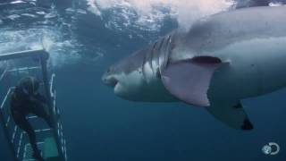 getlinkyoutube.com-18-Foot Shark Attacks Cage | Great White Serial Killer