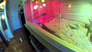 getlinkyoutube.com-New 4 Foot Long Blue Tongue Skink Tank