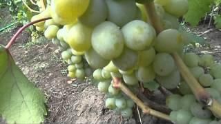getlinkyoutube.com-на винограднике золотухина часть 1