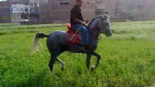 getlinkyoutube.com-الهلالي لتعليم أدب الخيول العربية.wmv