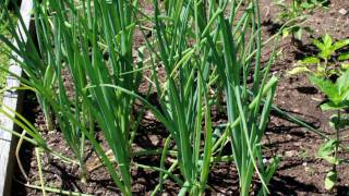 getlinkyoutube.com-Onions are Easy to Grow