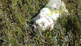 getlinkyoutube.com-บัวขาวลุยทุ่ง french bulldog