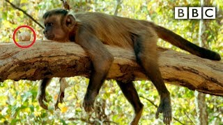 getlinkyoutube.com-Capuchin monkey nut cracking fail - Spy in the Wild: Episode 2 Preview - BBC One