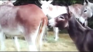 Burro trying to mate with a huge hybrid donkey