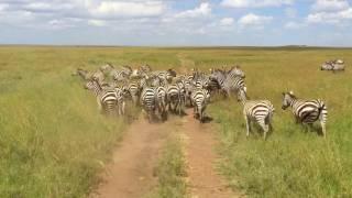 getlinkyoutube.com-Tanzania Safari, 2016 (Serengeti, Ngorongoro, Tarangire, and Lake Manyara) - with Oltumure Tours