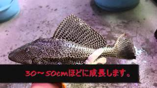 getlinkyoutube.com-アクアリウム 要注意魚種