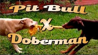getlinkyoutube.com-Pit bull Vs. Doberman