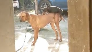 Small Dogs Desperately Trying to Hump Larger Dogs