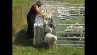 getlinkyoutube.com-Alligator Mobile Sheep Handling System