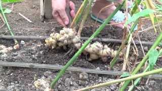 getlinkyoutube.com-Organic Farming in the Philippines (Reality TV, Se 2 Ep13: Gimme jinjah!)