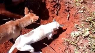 getlinkyoutube.com-Cachorro Bom de tatu