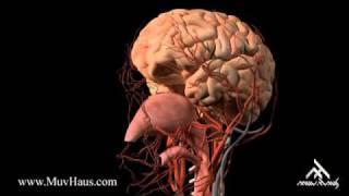 İç Organlar, Dolaşım Sistemi
