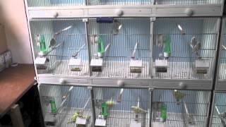 getlinkyoutube.com-Canary bird room update 2012
