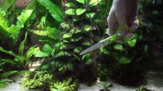 getlinkyoutube.com-アヌビアスナナ等の水草を整える Corydoras sterbai panda 熱帯魚