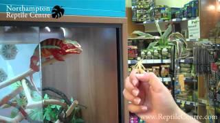 getlinkyoutube.com-Panther Chameleon & Yemen Chameleon Eating Locusts