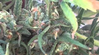 getlinkyoutube.com-Blue Dream Harvest