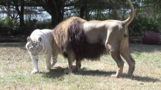 getlinkyoutube.com-LION TIGER vs Giraffe?