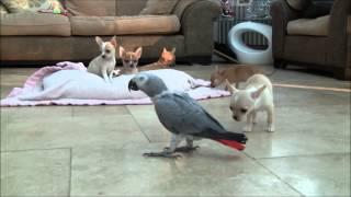 getlinkyoutube.com-Chihuahua Puppies for Sale