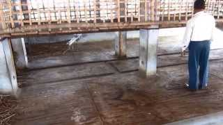 getlinkyoutube.com-Two in One-  Goat shed in the cattle shed