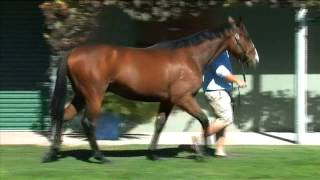 2014 Inglis VOBIS Gold Yearling Sale Lot 111 Soldiers Tale x Image Dancer Colt