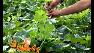 getlinkyoutube.com-บุญพืช-ฟักทอง คุณตาล เพชรเขมา จ.เชียงราย ตอน1