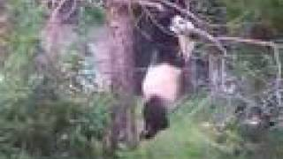 getlinkyoutube.com-Panda at zoo falls from tree!