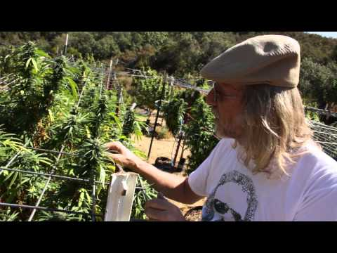 Jorge Cervantes: VARIETIES - Green Crack, Purple Kush from Lake County Outdoor Garden 2011 (Part 3)